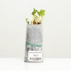Strawberry seedling FRIGO Malvina A (9-15 mm), 5 pcs