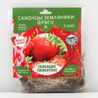 Strawberry seedling FRIGO Sensation (Sonsation) A (9-15 mm), 5 pcs