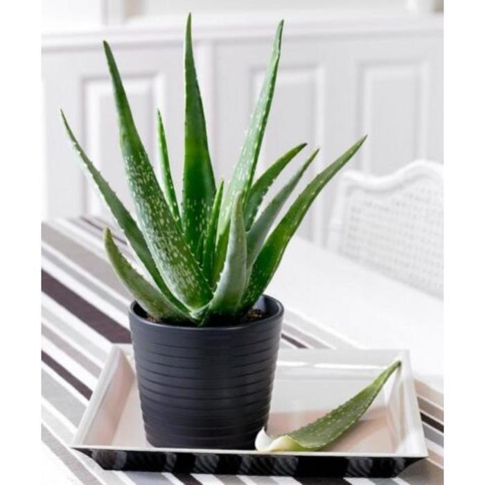Комнатное растение Алоэ Вера, горшок D12