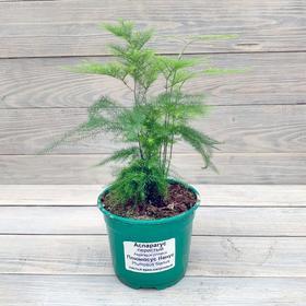 Комнатное растение Аспарагус, горшок D12