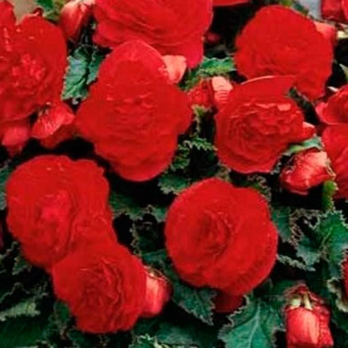 """Комнатный цветок Бегония """"Нон Стоп Ред"""", красный, горшок D12"""
