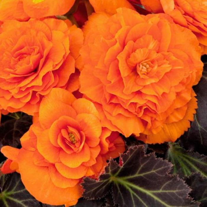 """Комнатный цветок Бегония """"Дип Оранж"""", оранжевый, горшок, D12"""