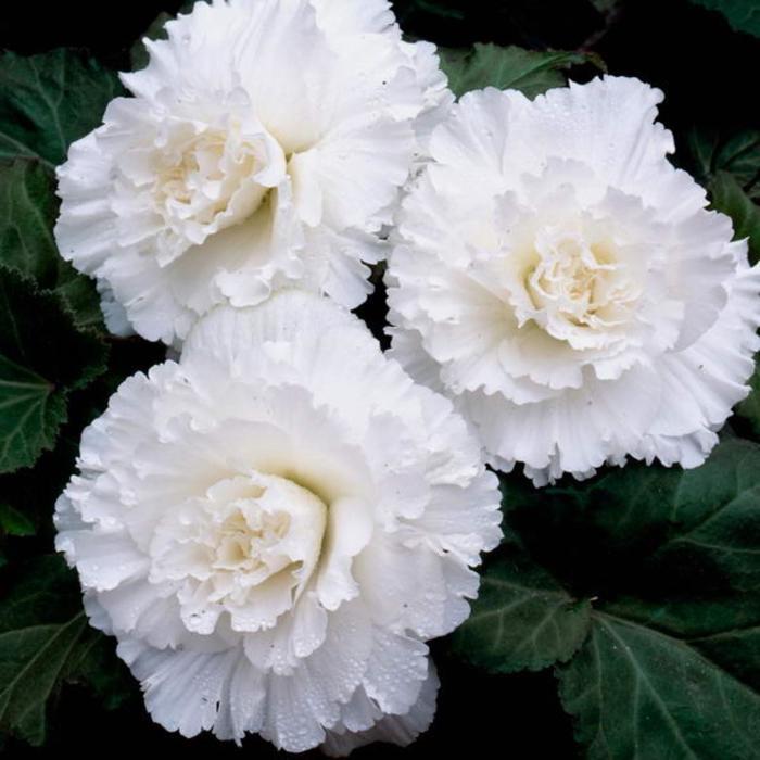 """Комнатный цветок Бегония """"Раффлд Вайт"""", белая, горшок D12"""