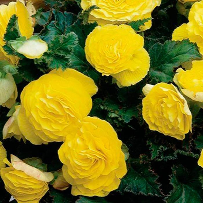 """Комнатный цветок Бегония """"Нонстоп Еллоу"""", жёлтый, горшок D12"""