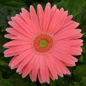 """Комнатный цветок Гербера """"Макси Селект"""", розовая, горшок D12"""