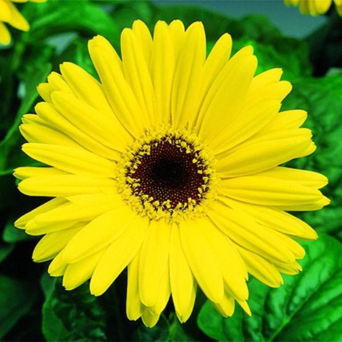 """Комнатный цветок Гербера """"Макси Селект"""", жёлтая, горшок D12"""