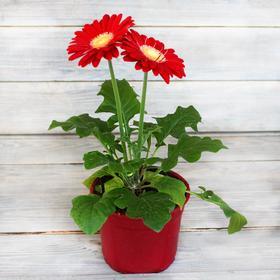 """Комнатный цветок Гербера """"Макси Селект"""", красная, горшок D12"""