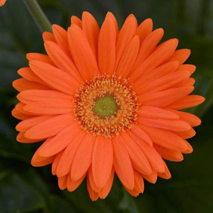 """Комнатный цветок Гербера """"Макси Селект"""", оранжевая, горшок D12"""