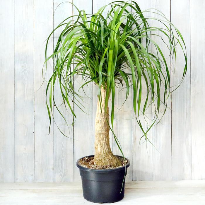 Комнатное растение Нолина, горшок D23
