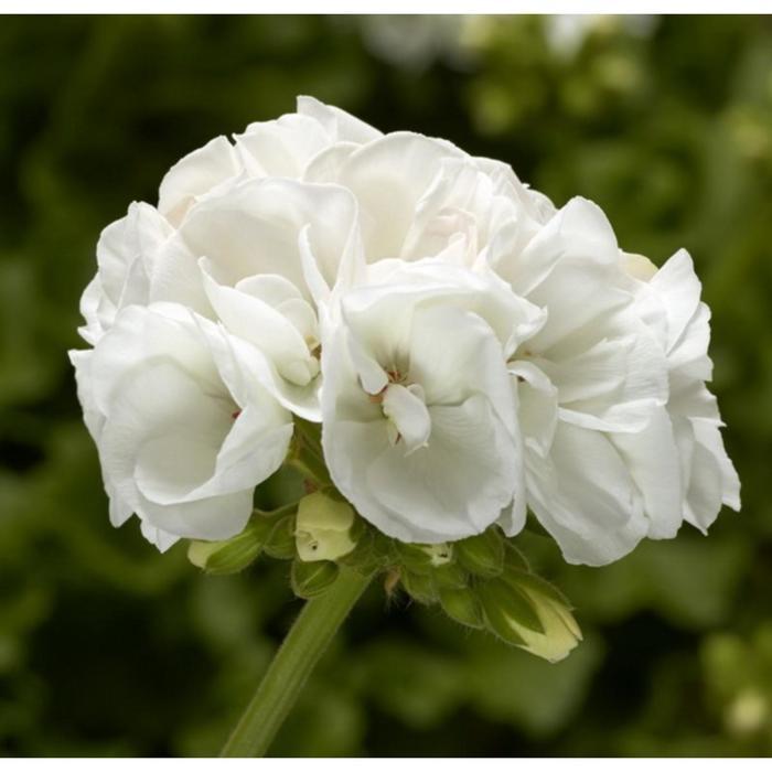 Комнатный цветок Пеларгония зональная, белая, горшок D12