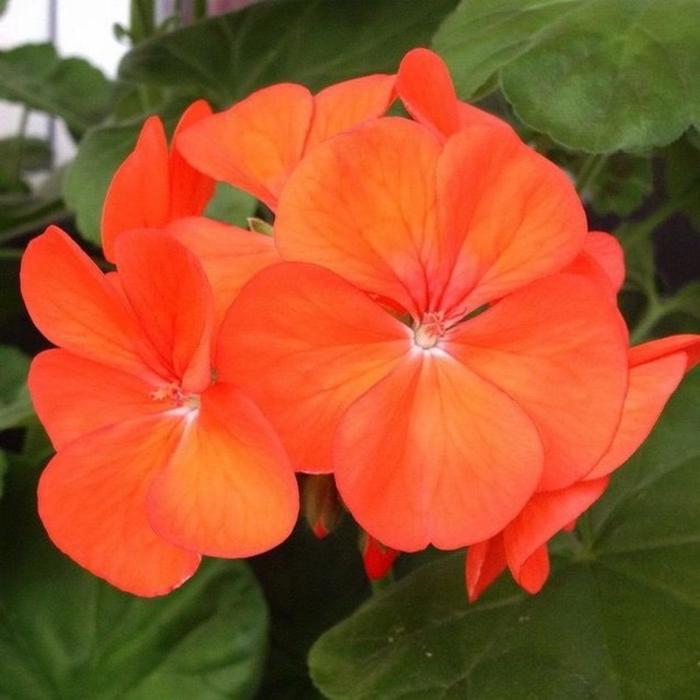 Комнатный цветок Пеларгония зональная, оранжевая, горшок D12