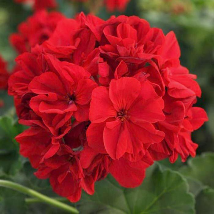 Комнатный цветок Пеларгония зональная, красная, горшок D12