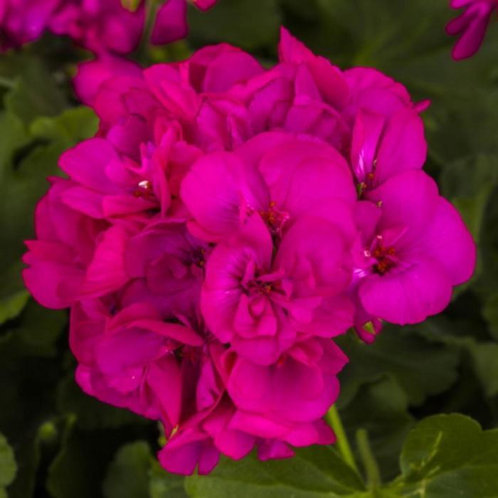 Комнатный цветок Пеларгония зональная, сиреневая, горшок D12