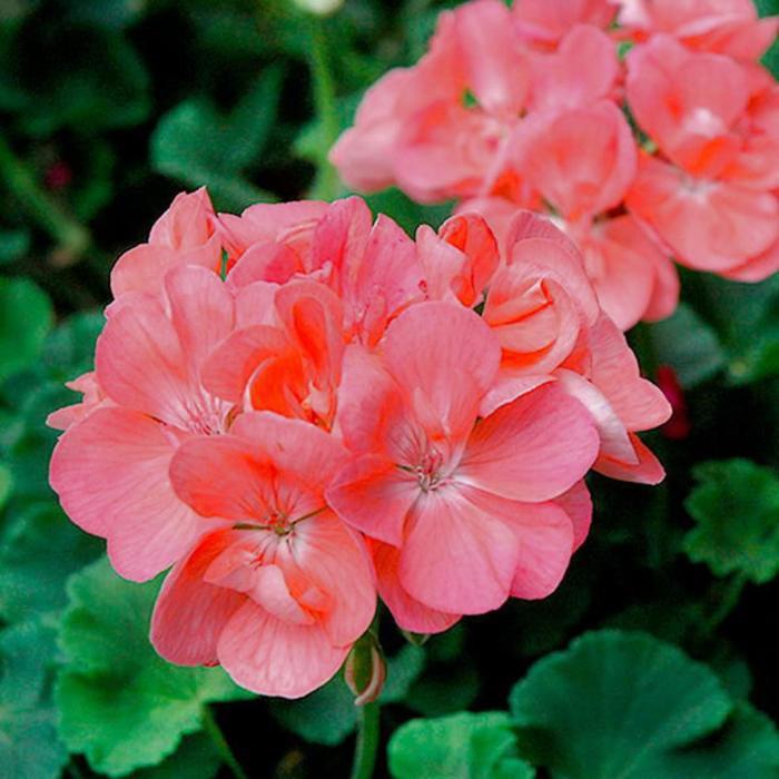 Комнатный цветок Пеларгония зональная, коралловая, горшок D12