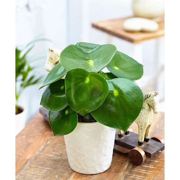 Комнатное растение Пеперомия, горшок D15