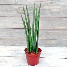 Комнатное растение Сансевиерия, горшок D12