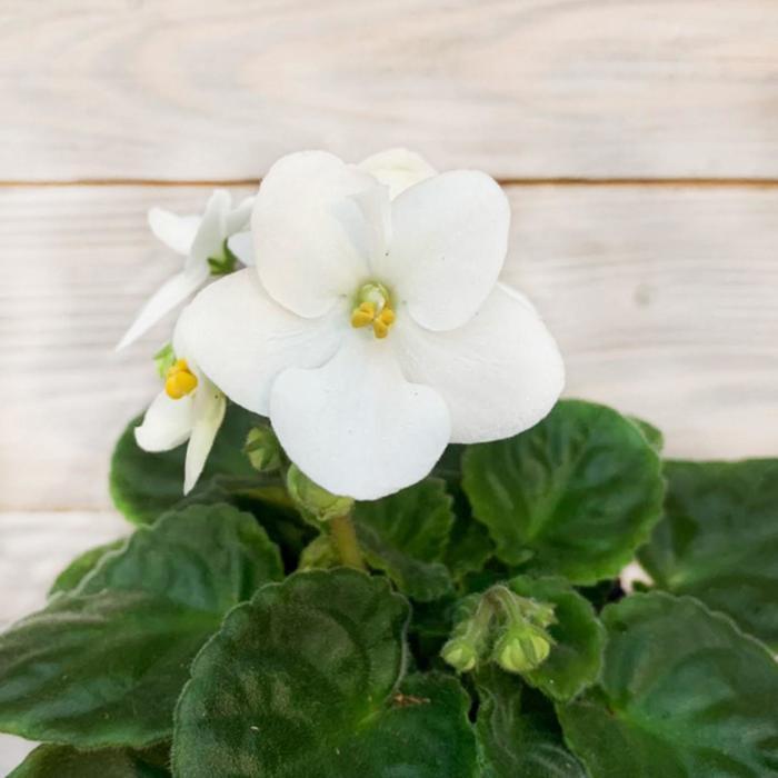 Комнатный цветок Фиалка белая, горшок D10