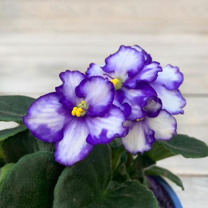 Комнатный цветок Фиалка белая с фиолетовым, горшок D10