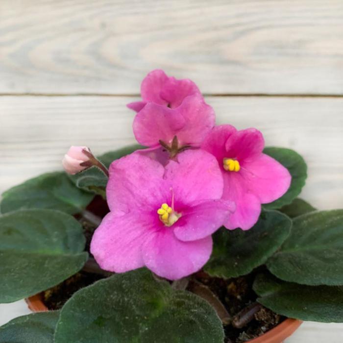 Комнатный цветок Фиалка розовая, горшок D10