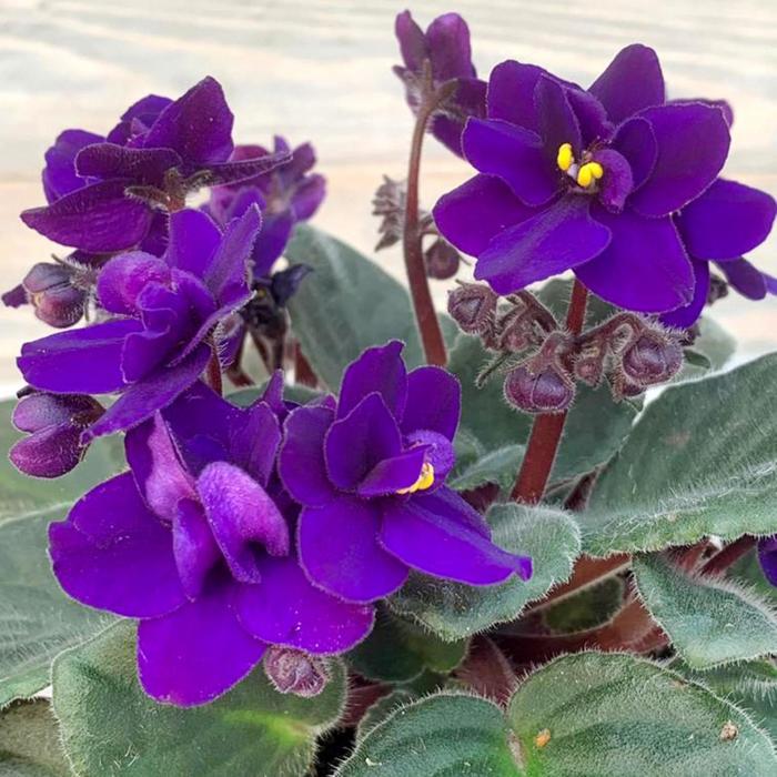 Комнатный цветок Фиалка фиолетовая, горшок D10