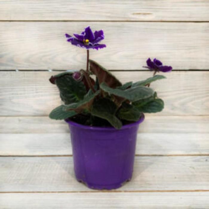 Комнатный цветок Фиалка фиолетовая с белым, горшок D10
