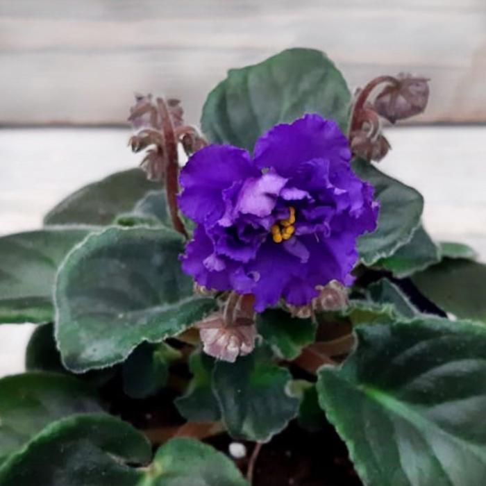 Комнатный цветок Фиалка Махровая, фиолетовая, горшок D10