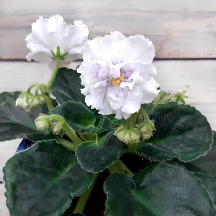 Комнатный цветок Фиалка Махровая, белая, горшок D10