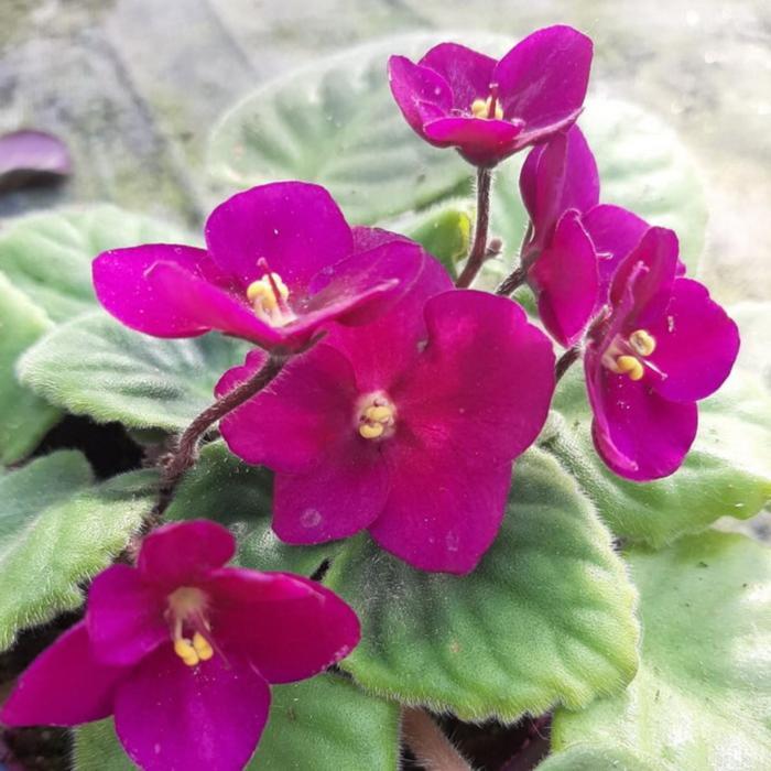 Комнатный цветок Фиалка бордовая, горшок D10