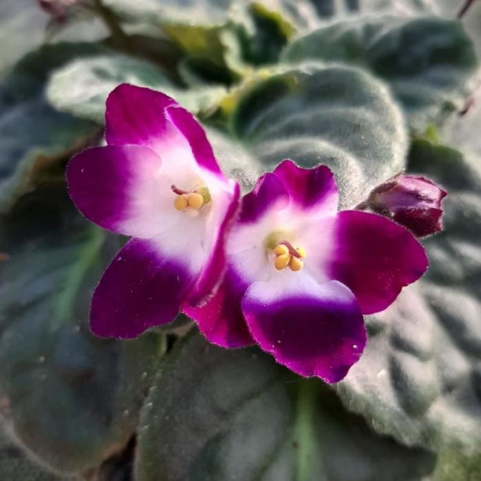 Комнатный цветок Фиалка бордовая с белым, горшок D10