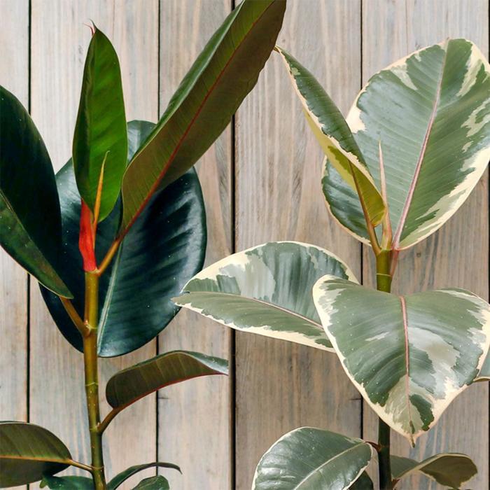 Комнатное растение Фикус Эластика, горшок D12