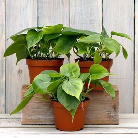 Комнатное растение Филодендрон, горшок D 12