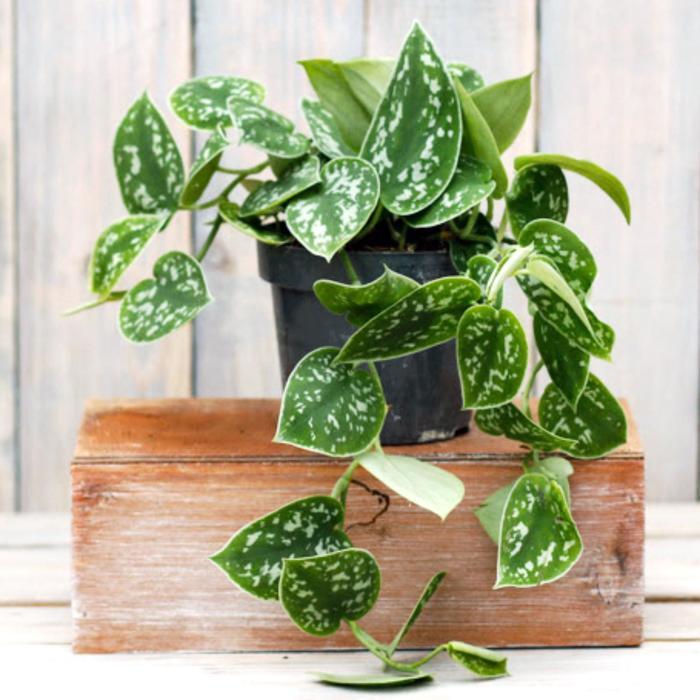 Комнатное растение Эпипремнум, горшок D12