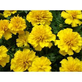 Рассада цветочная Бархатцы отклоненные Жёлтые, кассета 6 шт (АВ)