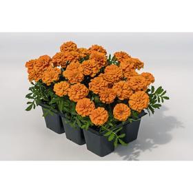 Рассада цветочная Бархатцы отклоненные Оранжевые, кассета 6 шт (АВ)
