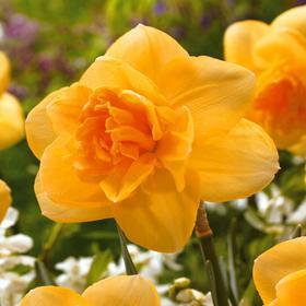 """Нарцисс """"Оранж Джус"""", 35см, р/р z12-14, 50 шт."""
