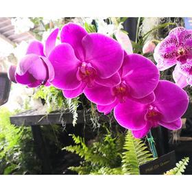Орхидея Фаленопсис African Queen,  без цветка (детка), горшок  2,5 дюйма
