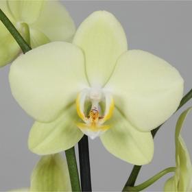Орхидея Фаленопсис Limelino,  без цветка (детка), горшок  2,5 дюйма