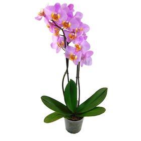 Орхидея Фаленопсис H1584,  без цветка (детка), горшок  2,5 дюйма