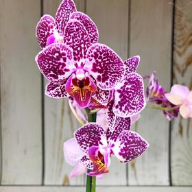 Орхидея Фаленопсис Cultivation,  без цветка (детка), горшок  2,5 дюйма