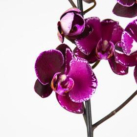 Орхидея Фаленопсис Devotion,  без цветка (детка), горшок  2,5 дюйма