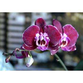 Орхидея Фаленопсис Armion,  без цветка (детка), горшок  2,5 дюйма