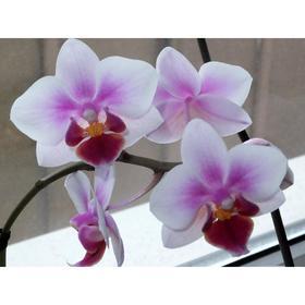 Орхидея Фаленопсис SI3825,  без цветка (детка), горшок  2,5 дюйма