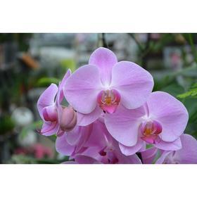 Орхидея Фаленопсис SI3852,  без цветка (детка), горшок  2,5 дюйма