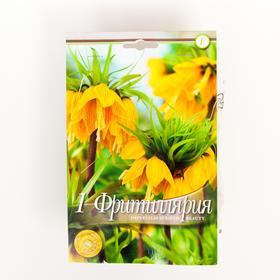 Рябчик императорский (Фритиллярия) Страйпт Бьюти р-р 20/24, 1 шт