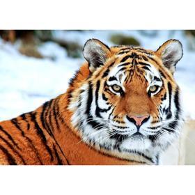 Алмазная мозаика «Тигр зимой» 29.5×20.5 см, 30 цветов