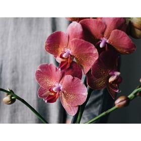 Орхидея Фаленопсис Н324, без цветка (детка), горшок 2,5 дюйма