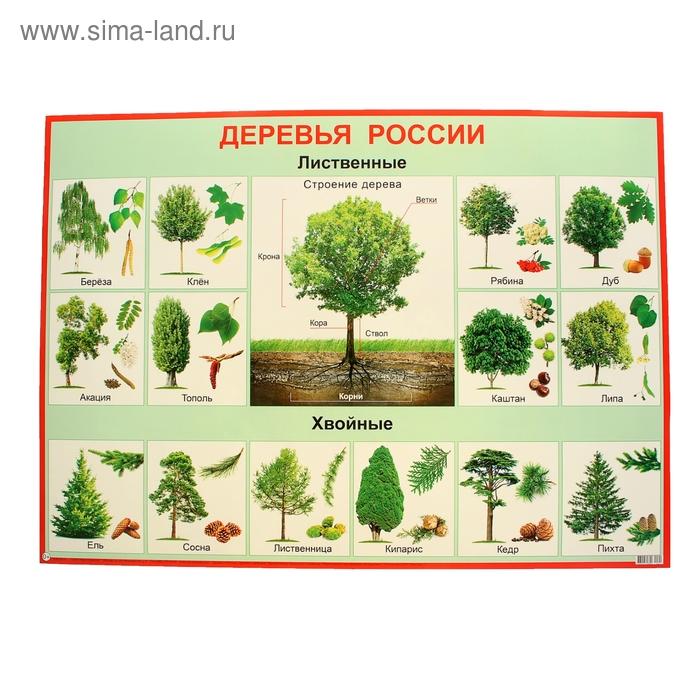 """Плакат """"Деревья России"""", 69x49 см"""