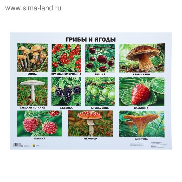 Плакат. Формат А2. Грибы и ягоды