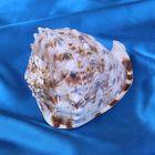 Морская раковина декоративная Кассис корнута 7-10 см, 4980