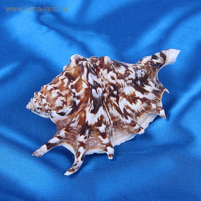 Морская раковина декоративная Ламбис черный  средний 5594